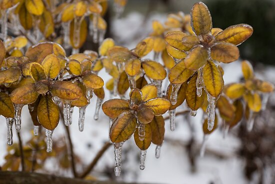 Toronto Ice Storm 2013 - Frozen Azalea Leaves  by Georgia Mizuleva