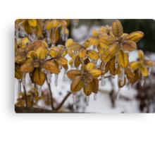 Ice Storm 2013 - Frozen Azalea Leaves  Canvas Print