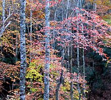Fall Forest in the Southern Mountains by Bill Shuman