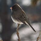 Dark-eyed Junco Profile by Deb Fedeler