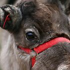 Reindeer closeup by GreyFeatherPhot