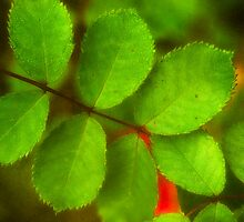 Red rose leaves by MichaelBachman