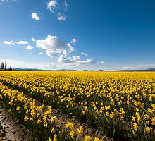 Yellow narcissus daffodil flower fields spring in Skagit County - Fiori della Primavera by visionitaliane