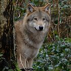 European wolve- I by Peter Wiggerman
