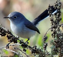 Blue-Gray Gnatcatcher by Bunny Clarke