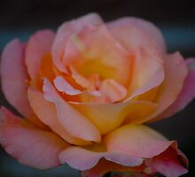 Peach Rose by lmcarlos