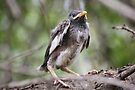 Mynah fledgling by Maree  Clarkson