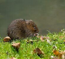 Water Vole Eating by Sue Robinson