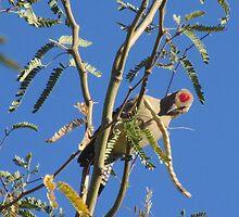 Gila Woodpecker in a Tree by Ingasi