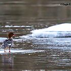 Common Merganser Hen - Merrimack River - Sewall's Falls Area - Concord, NH 12-27-13 by David Lipsy