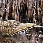 American Bittern by SuddenJim