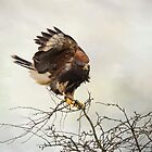 Harris Hawk by Margaret S Sweeny