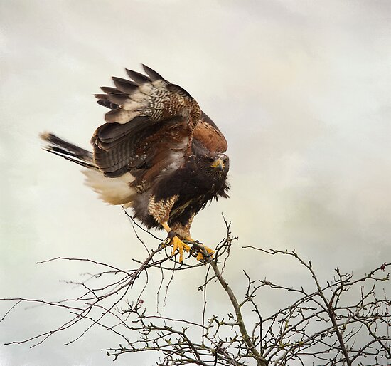 Harris Hawk by M.S. Photography & Art