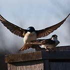 Tree Swallows by Kane Slater