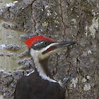 Pileated Woodpecker by Kathi Arnell