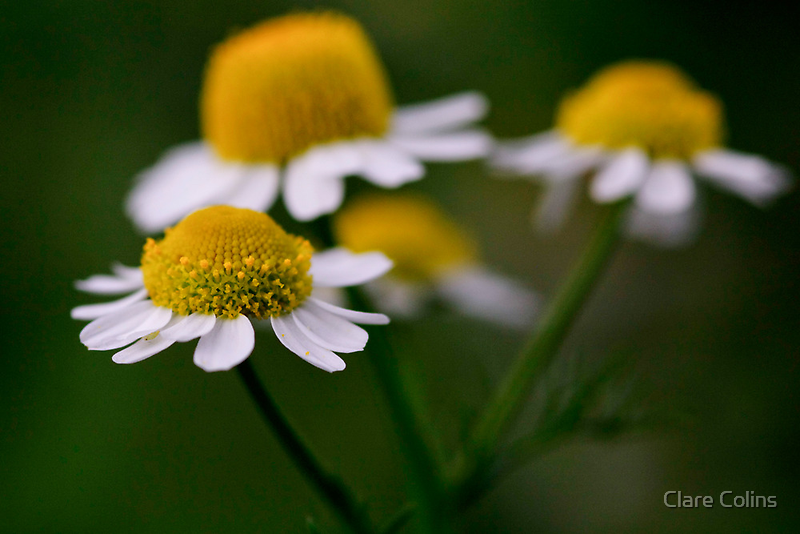 Chamomile Flowers by Clare Colins