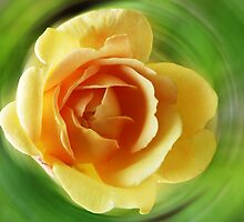 Rose Golden Celebration by Evelyn Laeschke