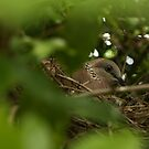 Nesting Pigeon by reflector