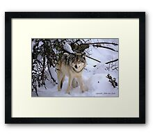 Canadian wildlife: Timber Wolf Framed Print