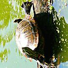 Sunbathing Turtle in NYC by greyhoundredux