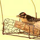 Downy Woodpecker 3 by Kathi Arnell