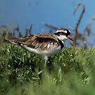 Black-fronted Dotterel by Kym Bradley