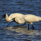 Just the Two Of Us Royal Spoonbills by Kym Bradley