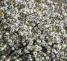 Wild cherry by Marina Kropec