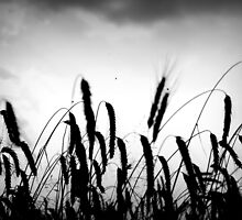 Black Wheat by ALEXANDRA FISCHER