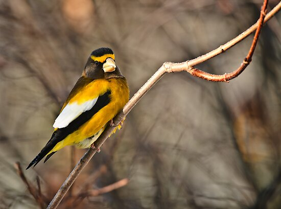 Male Evening Grosbeak by Michael Cummings