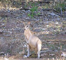 Pretty Wallaby in shadow. Northern Territory, Australia. by Rita Blom