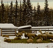 Sheep Feeding  by Sandra Foster
