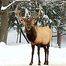 Beautiful Wapitis Elk Rack by vette