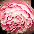 Pink Peony Flower by Elizabeth Thomas