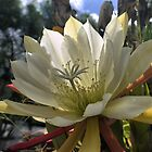 Epiphyllum White Ice by cullodenmist