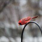 Redbird by Lynn Starner