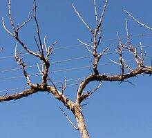 Bare Vine - Winter, Sinclair's Gully, Norton Summit, Adelaide Hills by Harvey Schiller