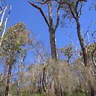 Eucalyptus in Serpentine Forest by lezvee