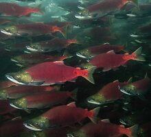 Schooling Sockeye Salmon  by Wolfgang Zwicknagl Photography