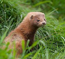 American Mink (Neovison vison) by ChrisMillsPhoto