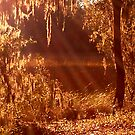 Sun Rays Through Spanish Moss on Marsh by Nadia Korths