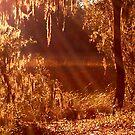 Sun Rays Through Spanish Moss on Marsh by Nadia Korths