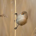 Bearded Tit Female by dgwildlife