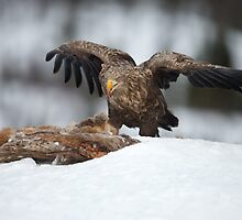 White-tailed Sea Eagle Feeding by dgwildlife