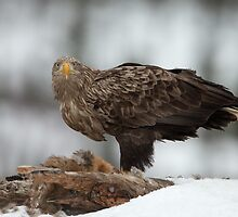 White-tailed Sea Eagle  by dgwildlife