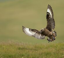 Great Skua Landing by dgwildlife