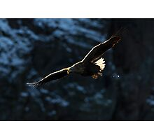 White-tailed Eagle in Flight Photographic Print