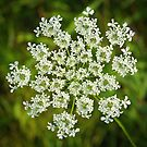 Queen Anne's Lace Close-up 2 by Robin Clifton
