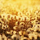 Dandelion Sunset by AroundOurWorld