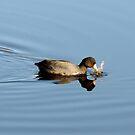 Duck reflection by Hannah Fenton-Williams